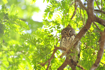 African owl
