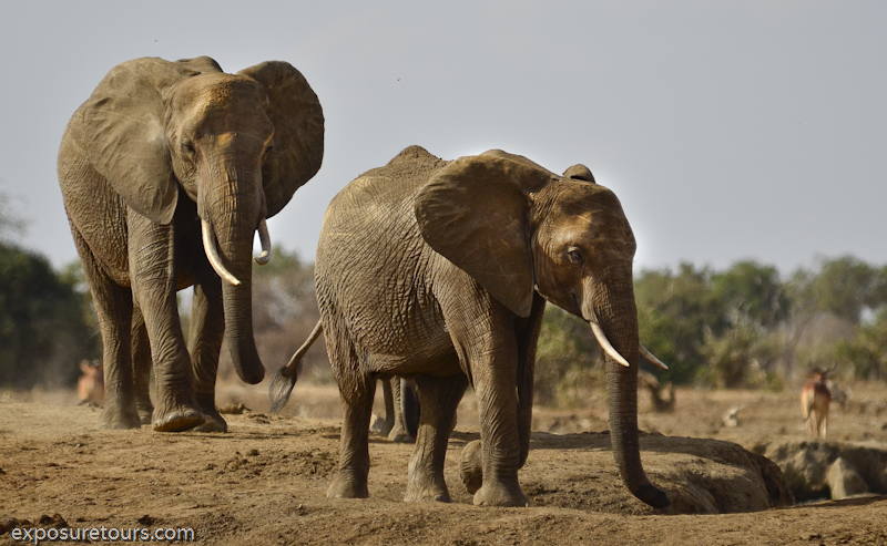 Amboseli Elephants - safari tours toronto (2)
