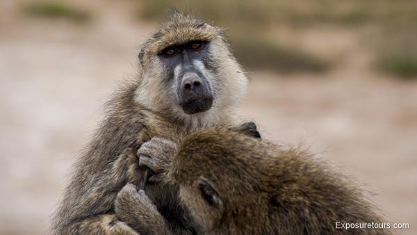 Olive Baboon - Exposure Tours - Safari Tours - Toronto  (2)