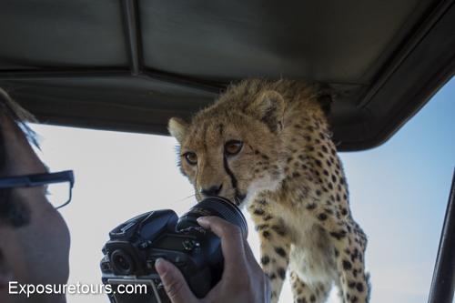 cheetah ecounter african safari (1)