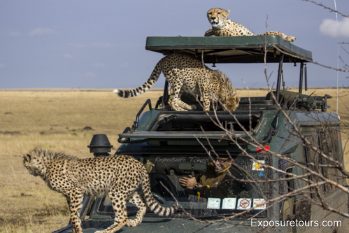 cheetah ecounter african safari (10)