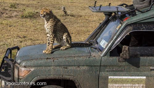 cheetah ecounter african safari (12)