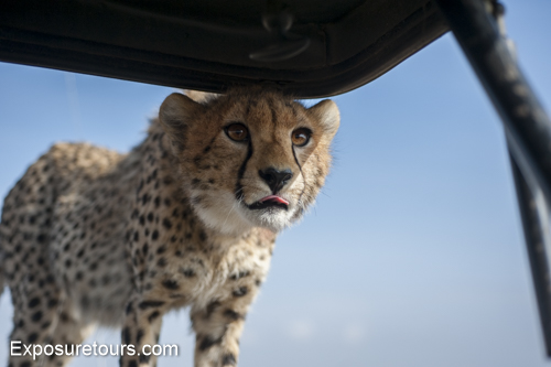 cheetah ecounter african safari (3)