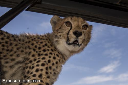 cheetah ecounter african safari (5)