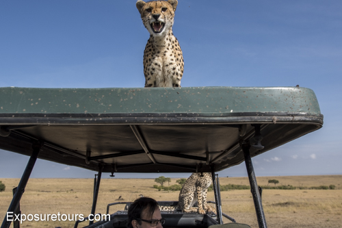 cheetah ecounter african safari (7)