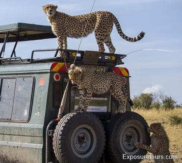 cheetah ecounter african safari (8)