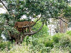 two lions one leopard - safari tours toronto (4)