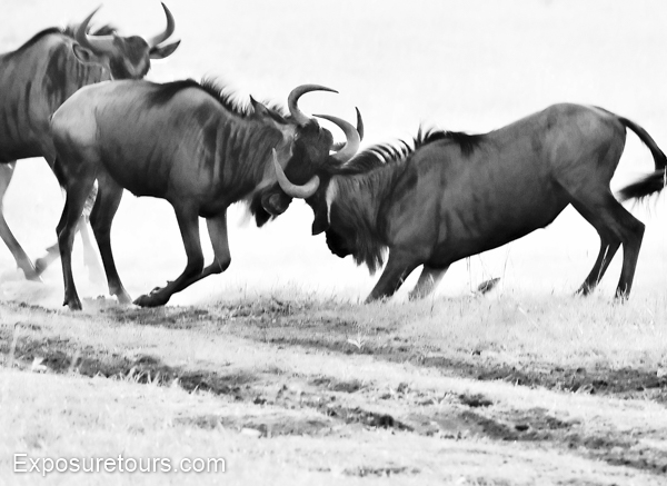 wildebeest - exposure tours - safari tours toronto (1)