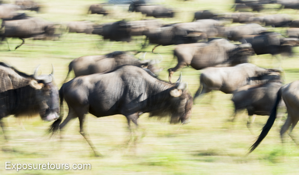 wildebeest - exposure tours - safari tours toronto (2)