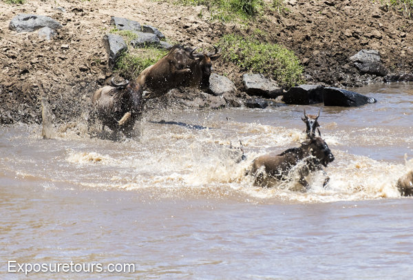 wildebeest - exposure tours - safari tours toronto (3)