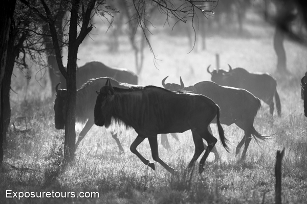 wildebeest - exposure tours - safari tours toronto (5)